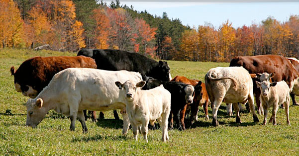 Beef – Grassfed or Grainfed?