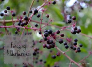 Foraging-Elderberries-Title