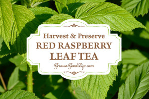 red-raspberry-leaf-growagoodlife